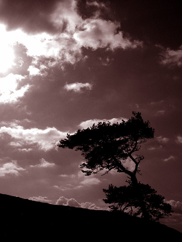 A windswept tree on the side of Meon Hill